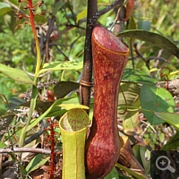 Kannenpflanze (Nepenthes spec.).