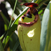 Nepenthes madagascariensis mit potentieller Beute.