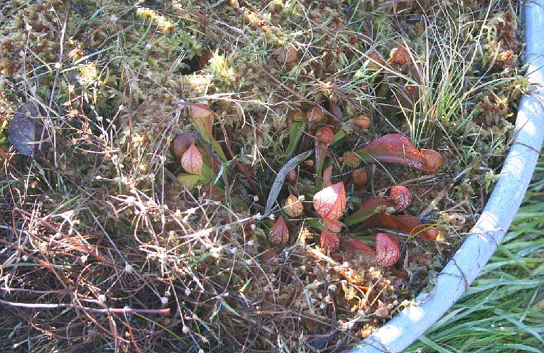 schlauchpflanzen im karnivorenterrarium