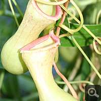 Nepenthes-Hybride (Nepenthes spec.).