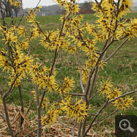 Zaubernuss (Hamamelis spec.).