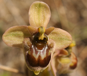 Ophrys bombyliflora x Ophrys neglecta, bei Ortuabis.