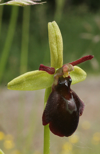 Ophrys sphegodes x insectifera, Kappel.