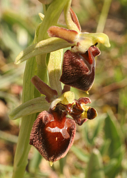 Ophrys morisii - Lusus