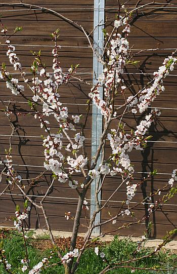 Aprikosenbaum Fancy Plants Deutsch
