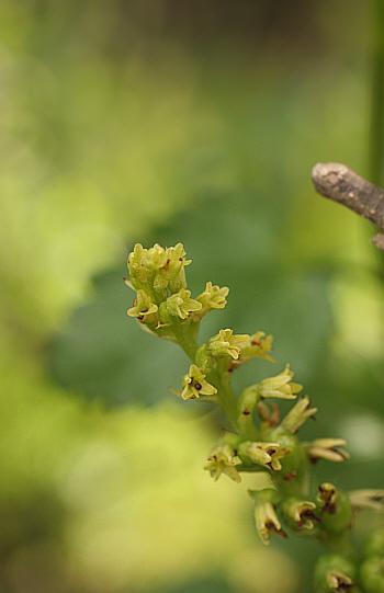 Gennaria diphylla