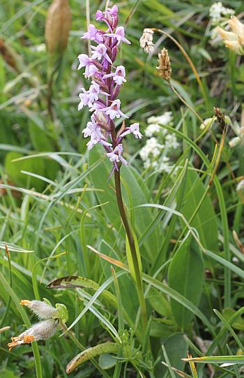 Gymnadenia alpina