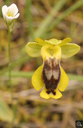 Ophrys phryganae, Markopoulo.