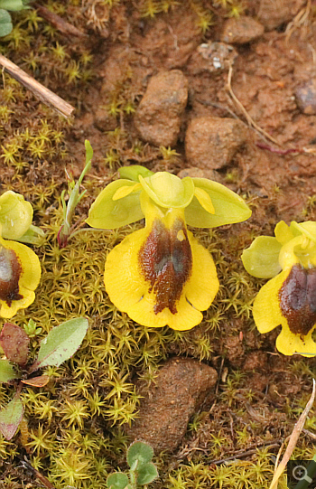 Ophrys phryganae, Filothei.