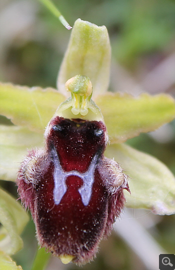 Ophrys promontorii, Forcella di Cervaro.