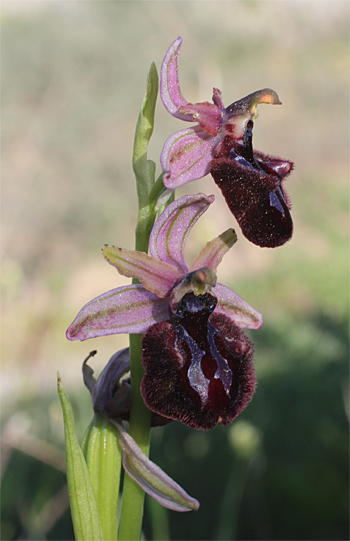 Ophrys sipontensis, Manfredonia.