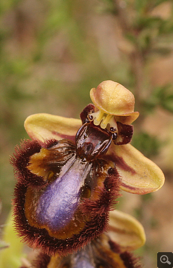 Ophrys speculum, Markopoulo.