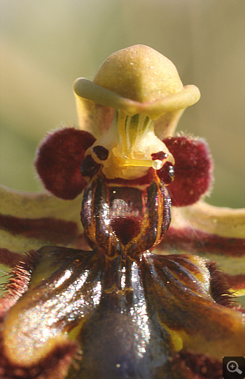 Ophrys speculum, Litochoro.