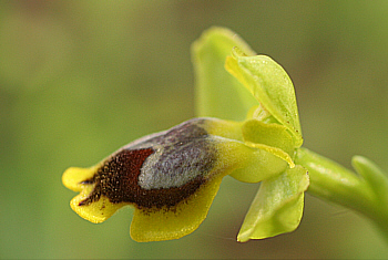 Ophrys subfusca ssp. liveriani, Is Arenas.