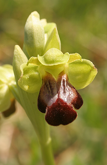 Ophrys zonata, Ortuabis.