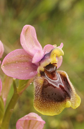 Ophrys leochroma