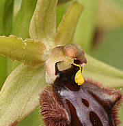 Ophrys incubaceae